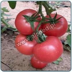 Pomidor szklarnia/tunel MALINOWY MAL200 F1 500 nasion